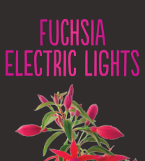 Fuchsia Electric Lights
