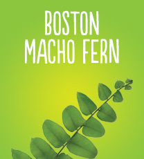 Boston Macho Fern