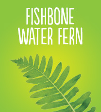 Fishbone Water Fern