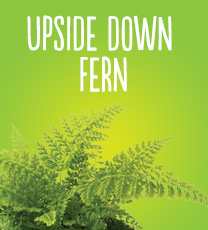 Upside Down Fern