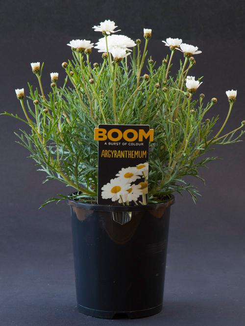 Argyranthemum.jpg