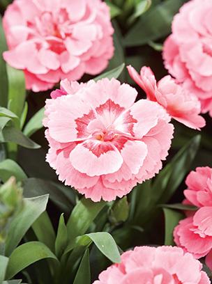 carnation_01.jpg
