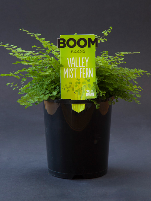 Valley Mist Fern.jpg